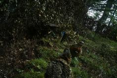 Hembras de urogallo cantábrico en el parque de presuelta en el Parque Regional de Picos de Europa @Servicio Territorial de Medio Ambiente de León