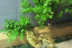 Urogallo cantábrico nacido en el centro de cría y reserva genética de Sobrescobio (Asturias)