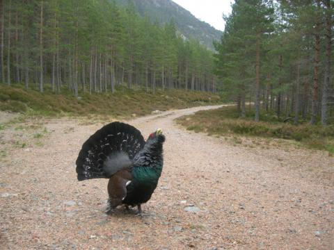Urogallo en la Strathspey National Forest (Escocia). Fuente: Forestry Commision Scotland